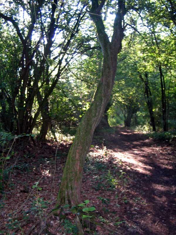 Forvredet træ. den del af skoven var helt eventyragtig i den tynde morgendis